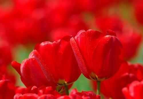 Beauty of RED-2746540720106522538s500x500q85-jpg