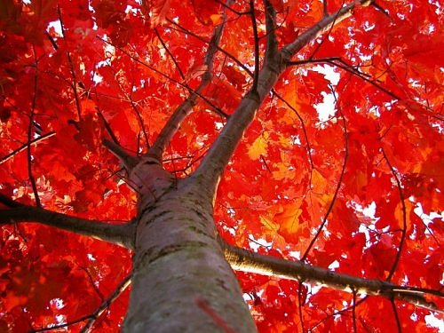 Beauty of RED-2650307170106522538s500x500q85-jpg